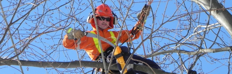 A trained arborist safely trims branches in a tree