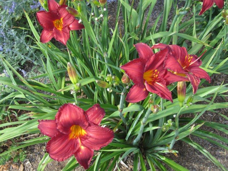Daylily 'Little Wine Cup'