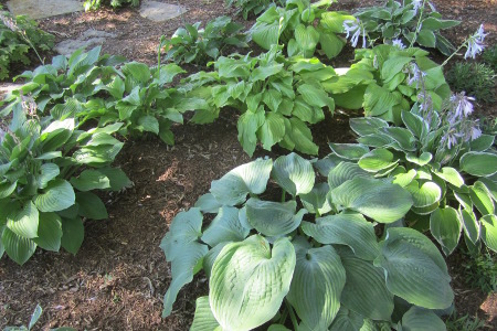 Hosta, multiple varieties