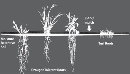 Drought tolerant roots, in moisture retentive soil, covered by 2-4 inches of mulch