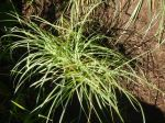 Blue Zinger Sedge