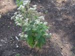Boneset, Thoroughwort
