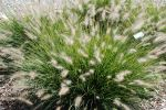 Dwarf Fountain Grass