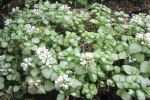 Lamium 'White Nancy' / Dead Nettle