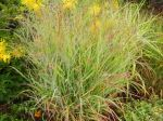 Red Switch Grass 'Shenandoah'