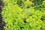 Speedwell, Golden Creeping