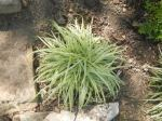 Variegated Japanese Sedge 'Silver sceptre'